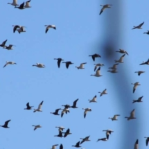 Geese air