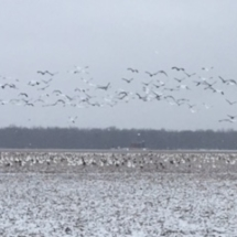 more geese 2